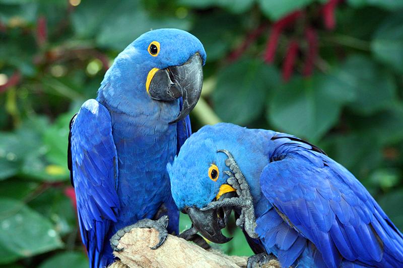 Resultado de imagem para ararinha-azul